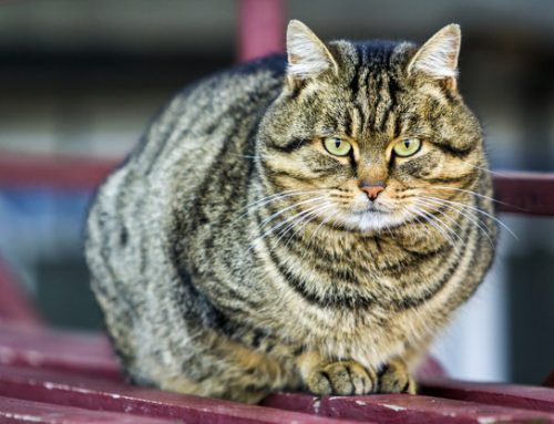 Top 10 Obesity Related Diseases in Cats